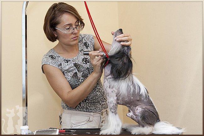 Приглашаем на мастер-класс по грумингу китайских хохлатых собачек Page_101_1